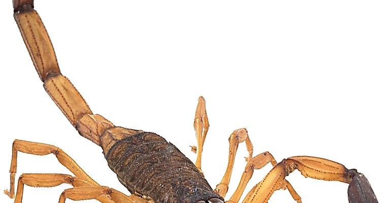 Um picada de escorpião deathstalker pode causar febre, convulsões e outros problemas graves