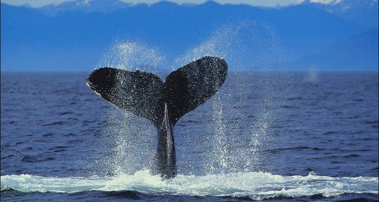 Somente baleias cachalotes podem encarar a lula colossal adulta