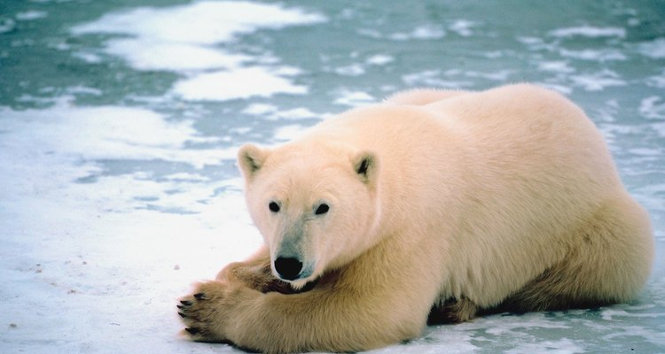 Las duras condiciones climáticas hacen que los osos polares deban adaptarse a su hábitat.