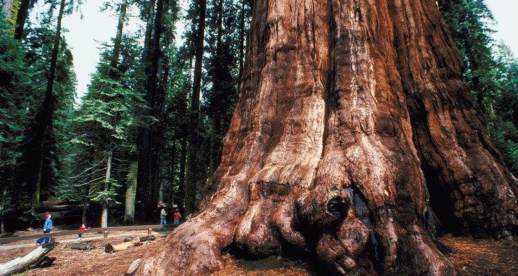 El ser viviente más grande del planeta, el árbol llamado General Sherman Tree, está cerca de Lodgepole Campground.