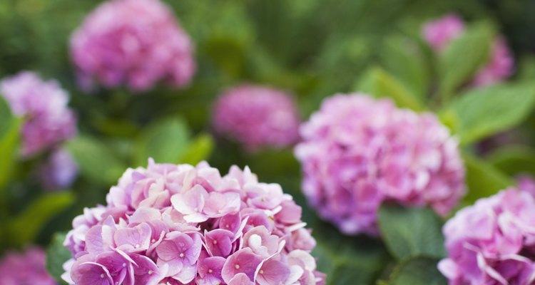 Las hojas marrones y poco atractivas de una hortensia le quitan belleza a las flores.