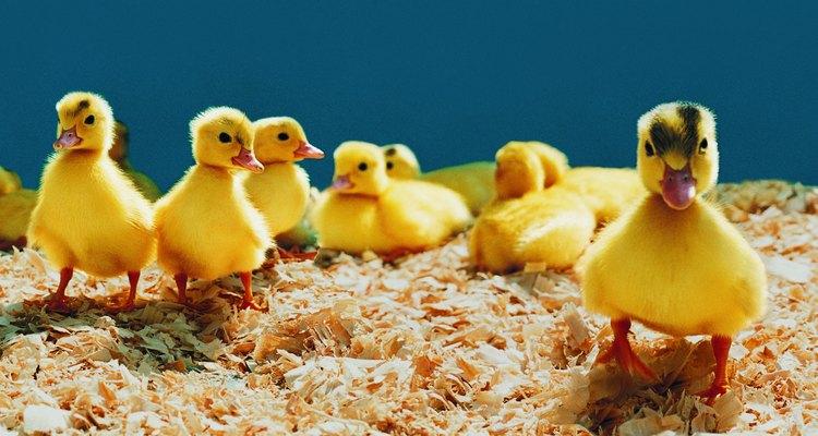 Com os cuidados adequados é possível chocar os ovos de pato