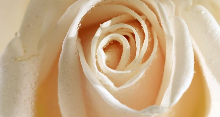 Close-up of a rose
