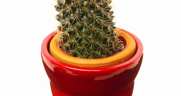 El cactus, como el aloe vera, son plantas suculentas del desierto.