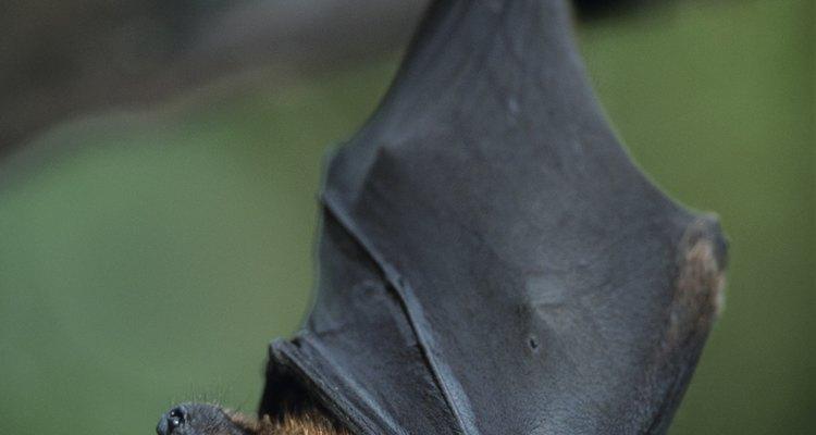 O morcego comedor de frutas tem um papel fundamental na cadeia alimentar