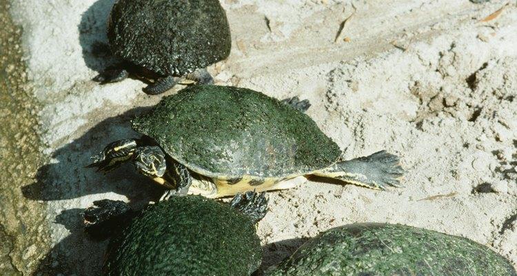 Quando as tartarugas estiverem em reprodução, conhecer os períodos de gestação e incubação é essencial