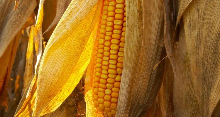 La mayoría de las plantas de maíz producen de una a 2 mazorcas de maíz.