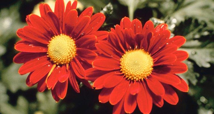Los crisantemos se originaron en China.