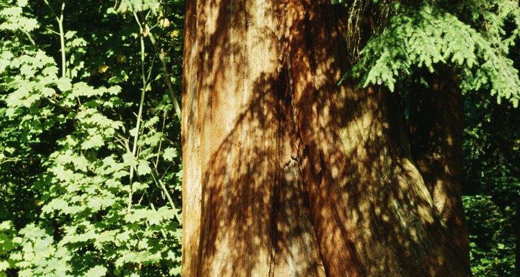 Los cedros son árboles grandes perennes.