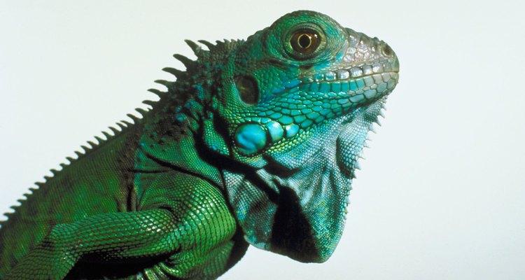 Revisa la piel de tu iguana.