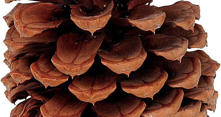 Los conos femeninos se convierten en semillas cuando son fecundados por el polen impulsado por el viento.