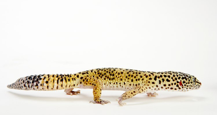 How to care for your gecko depends on the species.