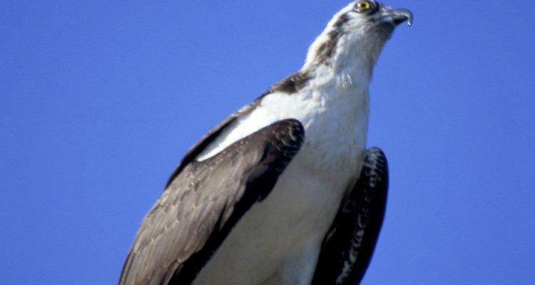 Es un tipo de ave rapaz resistente que puede sobrevivir en una variedad de hábitats, incluso cuando los seres humanos están presentes.