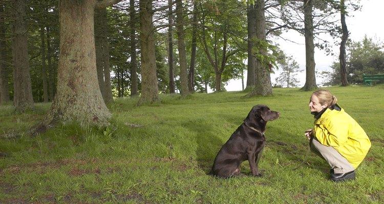 Labrador e doberman são cães facilmente adestrados