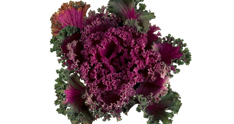 Help ornamental cabbage grow into the spotlight during the autumn weeks.