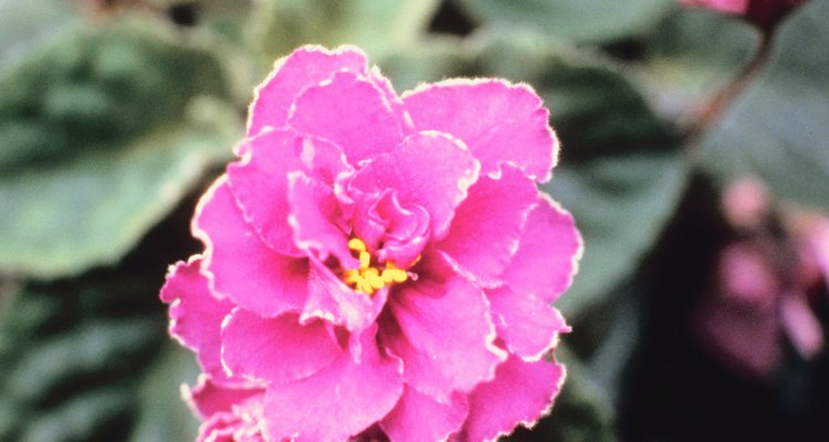La violeta africana es propensa a descomponerse a temperaturas superiores a 85 grados Fahrenheit (30ºC).