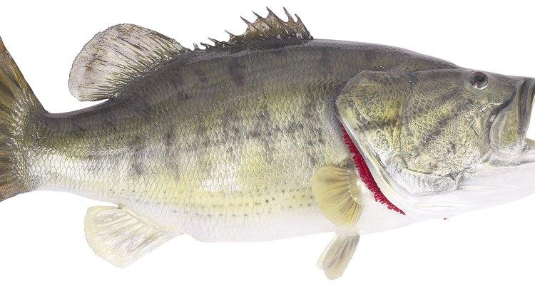 Taxidermia é usada entre pescadores para preservar uma boa presa