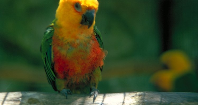 Male and female sun conures are nearly identical in appearance.