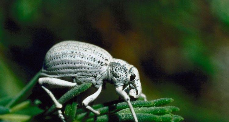 Este escarabajo oscuro de alas blancas refleja los rayos del sol.