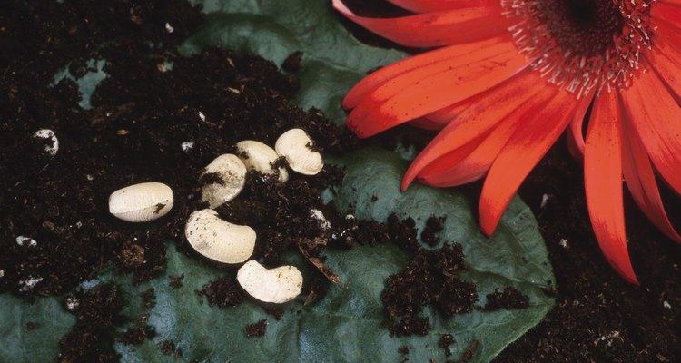 Raspa las superficies de cada semilla ligeramente con un cuchillo.
