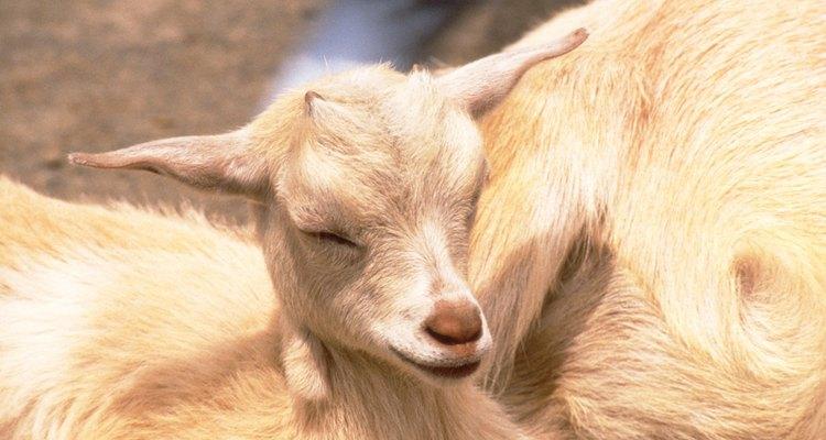 Los dientes de leche de una cabra son más pequeños y afilados que los dientes de adulto.