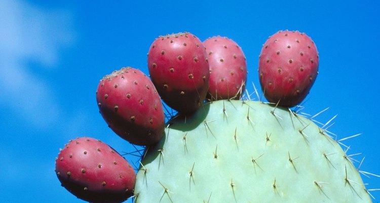 Xoconostle are a tart relative of the more familiar prickly pear.