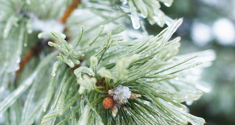 El aceite esencial de pino estimula y vigoriza los sentidos.