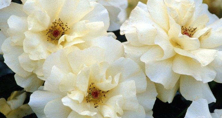 Riega a los rosales por la mañana