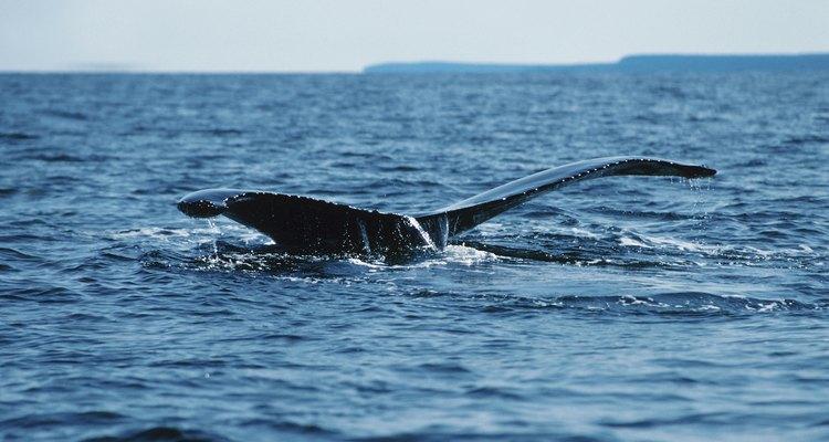 Durante unos pocos meses del año puedes ver las ballenas desde la orilla.
