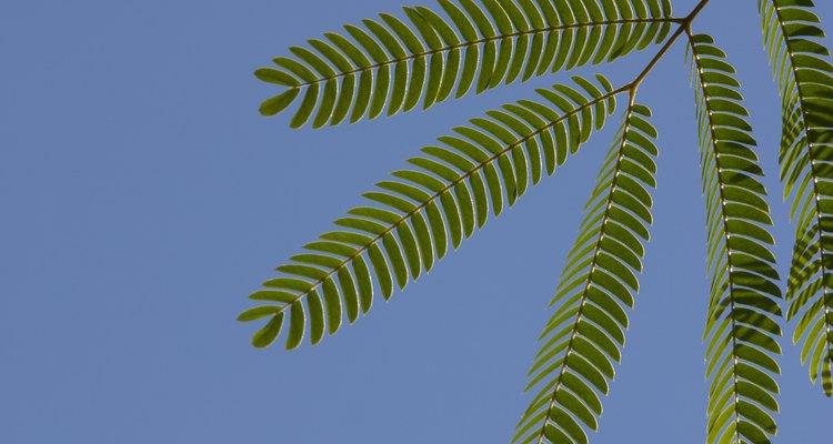 As folhas da dormideira lembram as de uma samambaia e tem 25 pares de pequenos folíolos