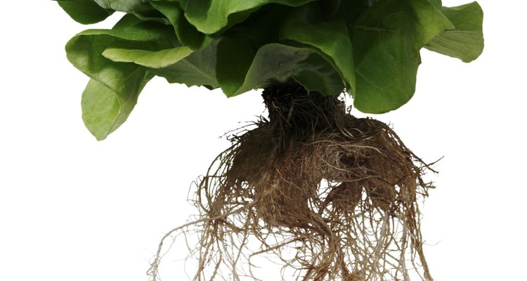 Tubers provide plants the same services as normal roots.
