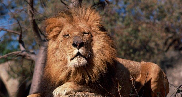 Use um processo de três cores para reproduzir o pelo de leão em uma pintura