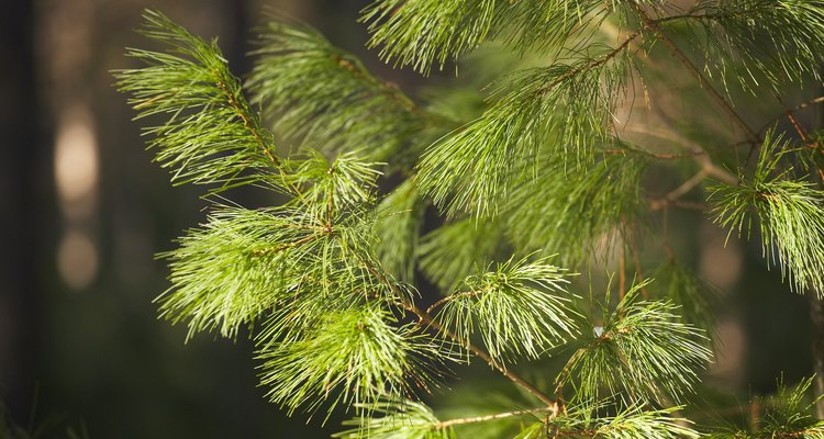 Fertiliser can help your pine trees grow strong and healthy.