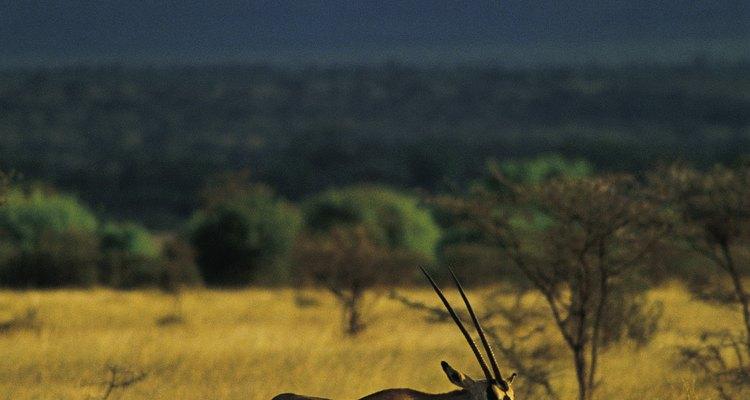 La gacela requiere un amplio suministro de pasto para poder producir leche para  sus crías.
