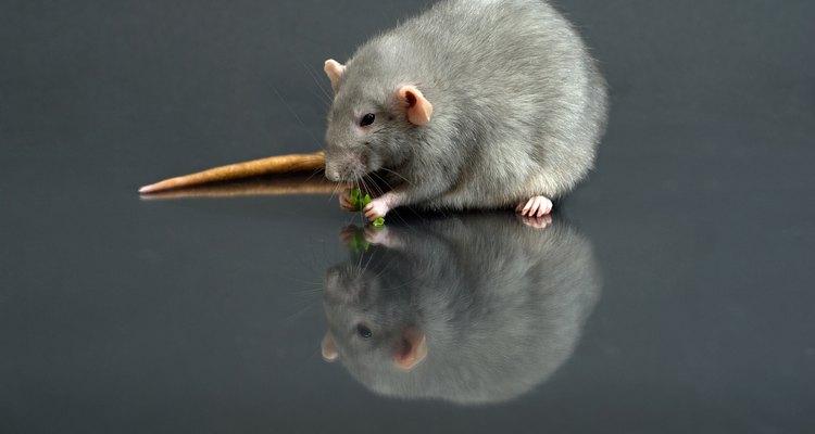 Extermine ratos com ratoeiras adesivas