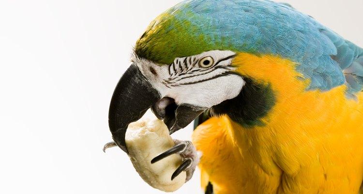 Todas as espécies de papagaios se alimentam de castanhas