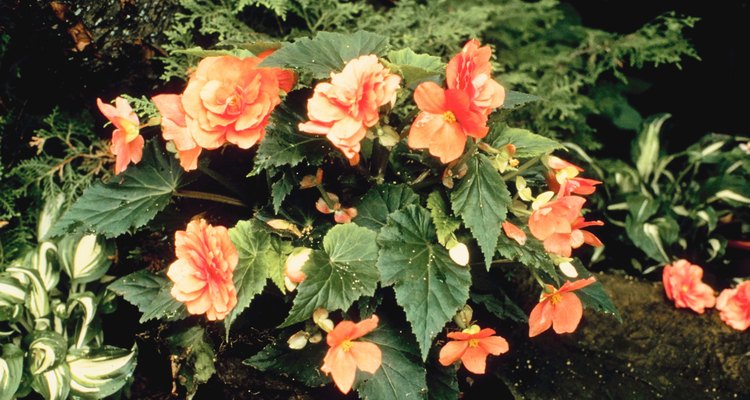 Plant your begonia so the pointy leaves face the way you want the flowers to show.