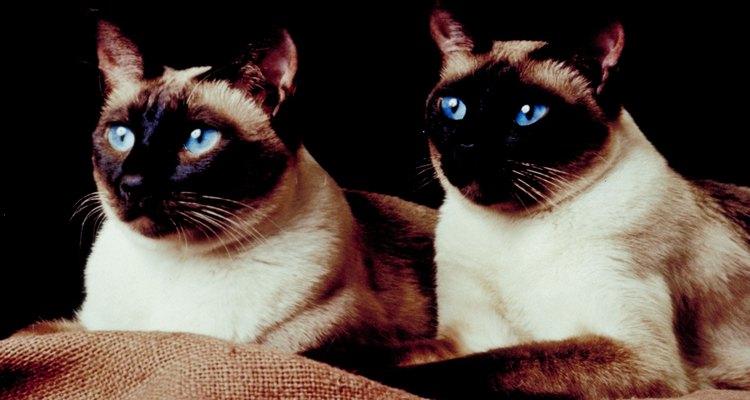 Los gatos pueden tener dos colores diferentes y ver bien con ambos ojos.