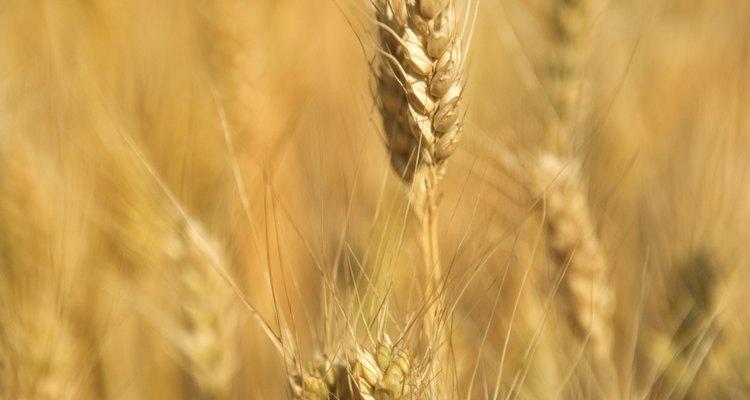 El trigo sembrado en los Estados Unidos puede ser cultivados tanto en el invierno como en la primavera.