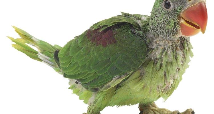 Não é incomum papagaios terem carrapatos