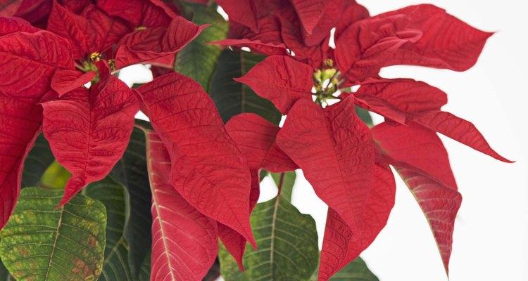 La nochebuena es la más popular de todas las flores navideñas.