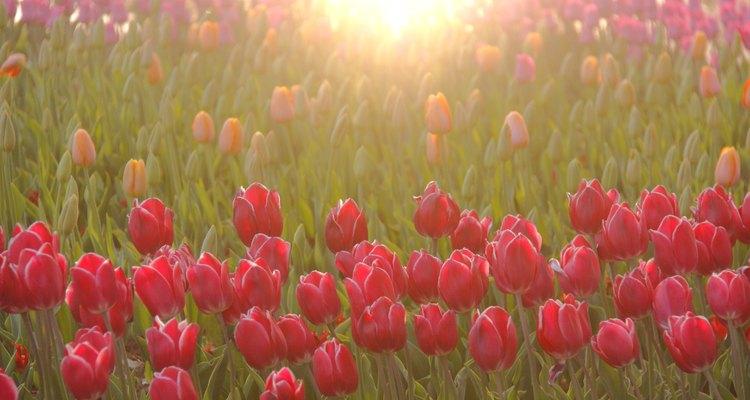 Aprende a cuidar a tus tulipanes después de florecer.