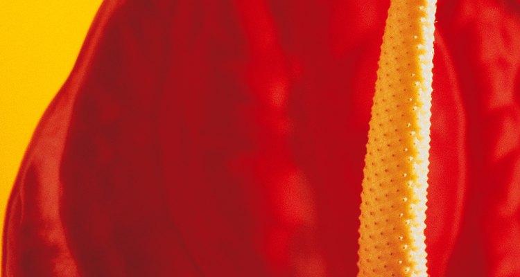 El espádice rojo brillante de un anturio.