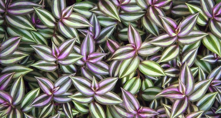A folhagem é a principal atração dessa planta