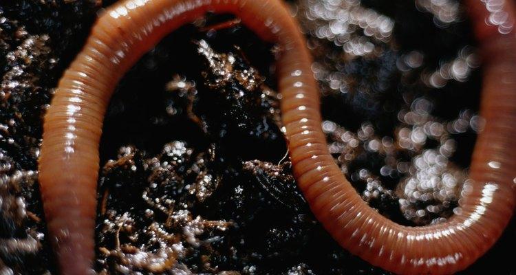 Algunas veces se utiliza a las lombrices de tierra como composta.