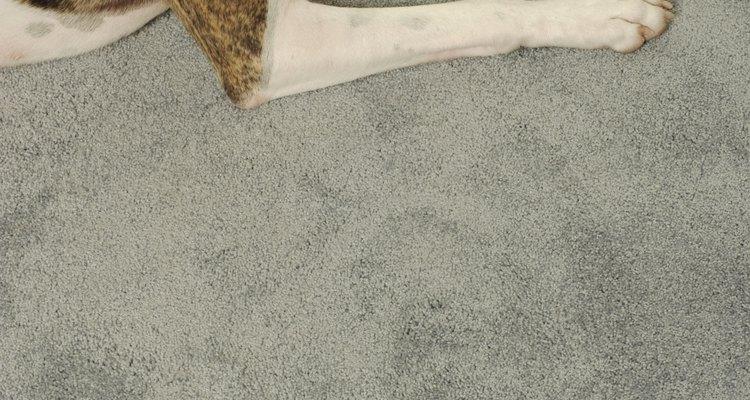 Depois de seu animal de estimação ser infectado com giárdia, limpar o seu tapete é essencial