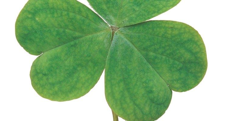 La planta de trébol con tres hojas sostenida por un solo tallo.