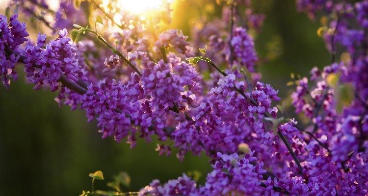 Redbud possui uma flor marcante