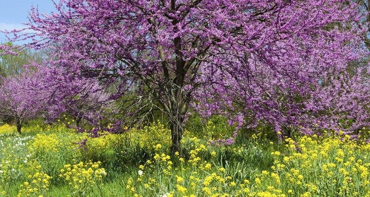Redbud é uma das várias árvores que produzem flores roxas