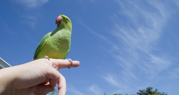 Una cotorra de Kramer verde que se posa sobre el dedo de una mujer, al aire libre.